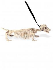 Squelette chien en laisse 55 cm